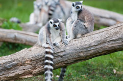 Ringtail Lemurs on a Log. Two lemurs sitting on a log with more lemurs in the background. They are ringtail lemurs Royalty Free Stock Images