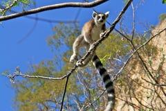ringtail maki lemur стоковые фото