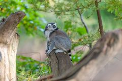 A ringtail maki is sitting on a branch royalty free stock photography