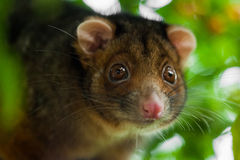 Ringtail Possum Shallow Focus Royalty Free Stock Images