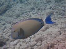Ringtail Surgeonfish (pualu) Stock Photography