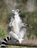 Ringtailed lemur Royalty Free Stock Photography