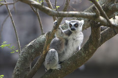 Ringtailed Lemur. Curious Ring-tailed Lemur perching in tree and watching something intently Stock Images