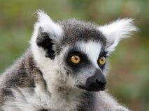 ringtailed lemur Arkivbild