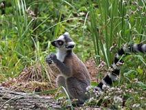 ringtailed lemur Royaltyfri Fotografi