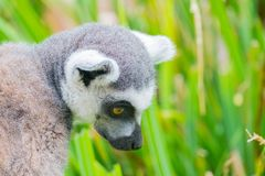 Ringtailed lemur climbing a tree. A photo in a vertical composition of a ringtailed lemur climbing a tree Stock Images