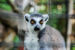 Ringtailed lemur. Close Up Of Ring Tailed Lemur in a cage Royalty Free Stock Image