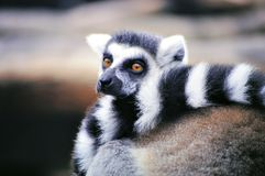 Ringtailed lemur (Lemur catta) Royalty Free Stock Images