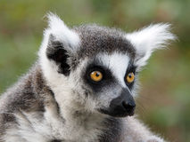 Ringtailed lemur Stock Photography