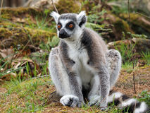 Ringtailed lemur. Portrait of a Ringtailed lemur sitting in the grass Stock Images