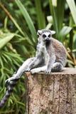Ringtailed Lemur sat having a rest. Stock Image