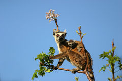 Ringtailed lemur with small baby. Ringtailed lemur with her baby foraging for food in the trees Royalty Free Stock Photo