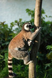 Ringtailed Lemurs. Closeup of a Ringtailed Lemur with her baby on the tree Stock Photos