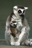 Ringtailed Lemurs. Closeup of a Ringtailed Lemur with her baby Royalty Free Stock Photo