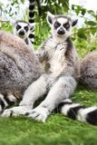 Ringtailed Lemurs looking to camera. Royalty Free Stock Photos