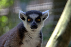 Ringtailed Limur. Curious Ring-Tailed Limur with large focused yellow eyes Royalty Free Stock Photo