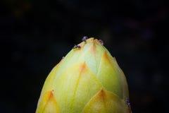 Ringworm Bush Stock Image