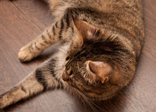 Ringworm in cat Stock Photography