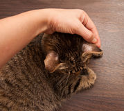 Ringworm in cat Stock Images