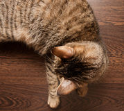 Ringworm in cat Royalty Free Stock Photos
