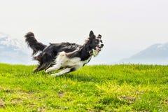 Rinnande ömt ställe och elegant hund border collie royaltyfri foto