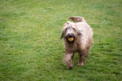 Rinnande briardhund Royaltyfria Foton
