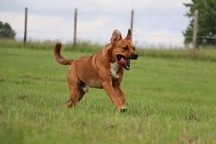 Rinnande brun blandad hund royaltyfria foton