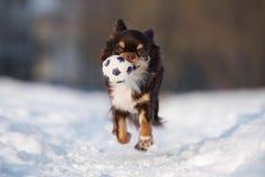Rinnande det fria för Chihuahuahund i vinter Arkivfoto
