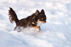Rinnande det fria för Chihuahuahund i vinter Royaltyfria Bilder