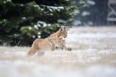 Rinnande eurasianlodjurgröngöling på snöig jordning i kall vinter Arkivfoto