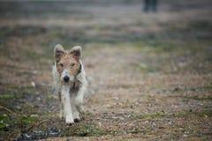 Rinnande foxterrier Arkivbilder