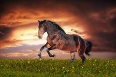 Rinnande galopp för härlig brun häst Royaltyfri Bild