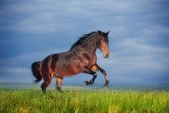 Rinnande galopp för härlig brun häst Arkivfoton
