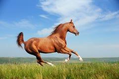 Rinnande galopp för härlig röd arabisk häst Arkivfoton