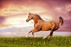 Rinnande galopp för härlig röd arabisk häst Royaltyfri Foto