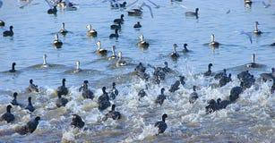 Rinnande gemensamma sothönor på Randarda sjön, Rajkot, Gujarat Royaltyfria Foton
