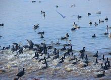 Rinnande gemensamma sothönor på Randarda sjön, Rajkot, Gujarat Royaltyfri Bild