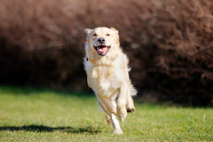 Rinnande golden retriever royaltyfri foto