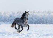 Rinnande grå fullblods- spansk häst Arkivfoton