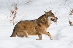 Grå färgwolf Royaltyfri Foto