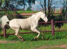Rinnande härlig palominohäst i paddock Arkivbilder