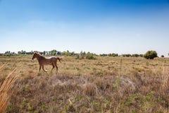 Rinnande häst Arkivfoto