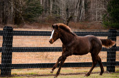 Rinnande häst i fält Royaltyfria Bilder