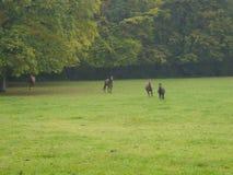 Rinnande hästar nära skogkanten Royaltyfri Fotografi
