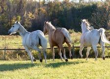 Rinnande hästar, Ontario, Kanada, 2015 Royaltyfri Bild