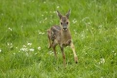 Rinnande hjortar lismar Arkivfoton