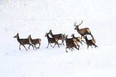 Rinnande hjortar och hindar av röda hjortar i snö Royaltyfria Bilder