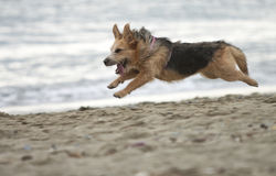 Rinnande hund Royaltyfria Bilder