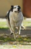 Rinnande hund arkivfoton