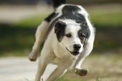 Rinnande hund arkivbilder